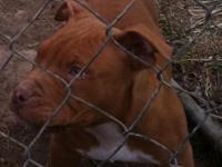 We have 2 pitbull young puppies weaned an all set to