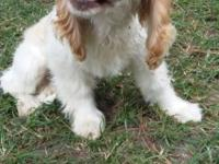 Cute cocker spaniel for sale, born on April 10, first