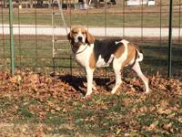 Mack is a UKC registered coon dog, he is trained and