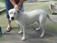 Dogo Argentino Puppies for Sale in Roanoke, Virginia Classified