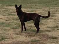 UKC signed up totally undamaged male Dutch Shepherd. 4