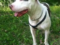 Very beautiful female, unspayed bully with great