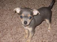 We have 1 UKC chihuahua pup left. 1 blue/tan female for