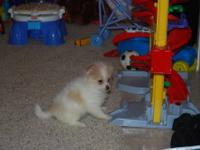 I have 7 female pomeranians from 2 separate litters.