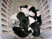 10 UKC Great Dane Puppies. 7 Males, 3 Females. Great