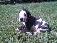 Great dane puppies for sale. Born upon Aug. 15 2014 and