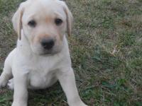 I have 3 UKC Registered Labrador puppies for sale.
