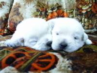 UKC Westie Puppies have Arrived. We have 2 White Males