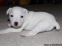 UKC Parson Russell Terrier Puppies (commonly known as