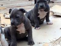 1 pup female 8wks blue UKC registered. Large body,