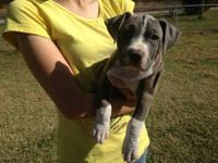 $500 for UKC registered male. 9 weeks old and is