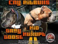 www.cnypitbulls.com - - - call tevin #  - - - get the
