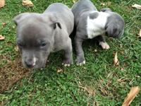 Ukc Purple ribbon pups 6 weeks old. The male and female