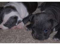 We have 2 beautiful females available UKC registered Up