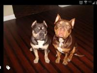 Ukc registered American pitbull terriers. Perfect tri