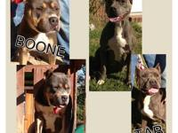 UKC registered Pitbull Puppies 11 weeks 1-11-13 old