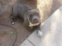 Hi,. I have a Pit-bull Terrier called Kujo Bleu that is