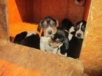 Taking deposits for Treeing Walker Coonhound pups