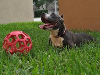 8 Month old American Pit Bull Terrier female with up to