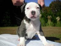 I have two very nice blue bully male pups up for grabs
