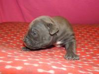 Girl 2 Beautiful almost all blue female puppy. Razors