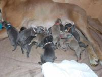 UKC Purple Ribbon Blue Nose Pitbulls Born September