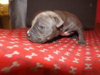 Boy 1 Beautiful almost all blue male puppy. Razors edge