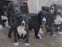 UKC PURPLE RIBBON TOP QUALITY PUPS BRILLIANT BLUE EYED