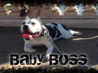 Available American Bully female. Great with children