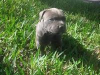 UKC purple ribbon blue nose Pitbull puppies 2 female