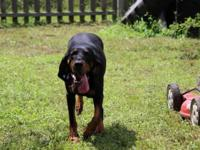 UKC Purple Ribbon dual purpose black and tan coonhound