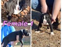 2 Female American Pitbull dogs Available UKC purple