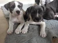 We have 5 blue nose pitbull puppies for sale, 3 males