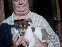 Rat Terrier puppies, Fire Mountion and Decker breeding,