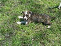 UKC RAZORS EDGE PR AMERICAN BULLY PUPPIES born January