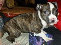 UKC RAZORS EDGE PR PITBULL BULLIE APBT PUPPIES born