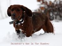 "UKC signed up Female Redbone Coonhound. ""Darnobid's One"