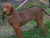 UKC Reg Redbone Coonhound 1 year old. Beautiful female