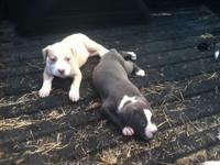 I have 4 bully young puppies for sale 3 ladies and 1