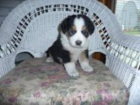 I am down to our last English Shepherd puppy girl.