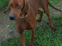 Beautiful UKC Redbone Coonhound 1 year old.