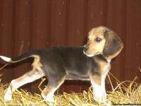 "UKC registered 13"" Tri Color female beagle puppy for"