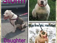 I am looking to rehome 4 xl pitbull puppies (1 female 3