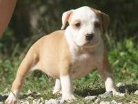 UKC REGISTERED AMERICAN BULLY PUPPIES!!! $500 BLOW