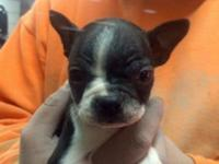 UKC registered Boston Terrier Puppies. 2 males. Have