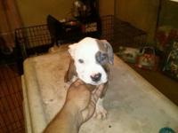 12 week old ukc registered puppies puppies are tri gene