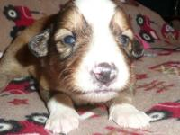 We have a stunning litter of 10 English Shepherd
