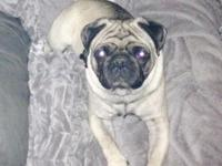 UKC registered fawn male pug 3 years old. I own both