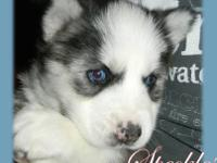 My name is Speckles Im a UKC Registered Siberian Husky