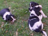 UKC Walker pups Both mother and father very good in the
